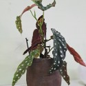 begonia maculata con tiesto cerámica rústica